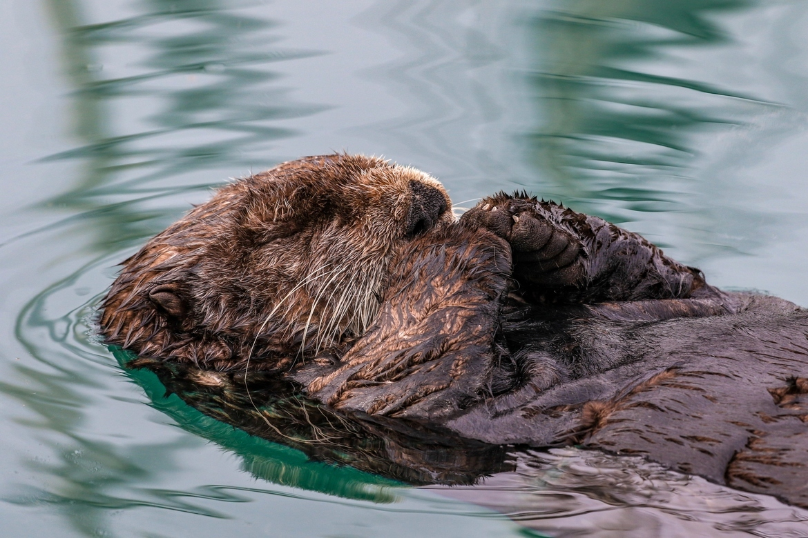 sea otter, sea otter photos, sea otter images, Alaska sea otter, Alaska wildlife, Alaska marine life, Homer