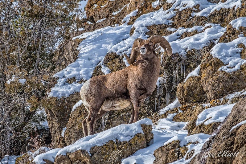 bighorn sheep, rams, bighorn sheep photos, ram photos, Wyoming wildlife, Cody wildlife