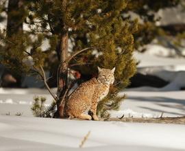 bobcat, bobcat photos, yellowstone national park, yellowstone wildlife, winter in yellowstone, yellowstone photos