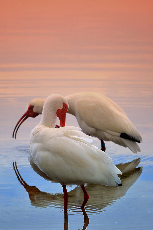 white ibis, white ibis photos, ibis, ibis photos, Florida wildlife, Florida birds, Seminole County, Seminole County wildlife photos, Florida birding