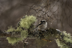 long-tailed tit, long-tailed tit photos, Cairngorms National Park, Cairngorms National Park wildlife, Cairngorms birding, Scotland wildlife, Scotland birding, birding in Scotland, long-tailed tits in Scotland