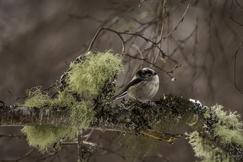 long-tailed tit, long-tailed tit photos, Cairngorms National Park, Cairngorms National Park wildlife, Cairngorms birding, Scotland wildlife, Scotland birding, birding in Scotland, long-tailed tits in Scotland