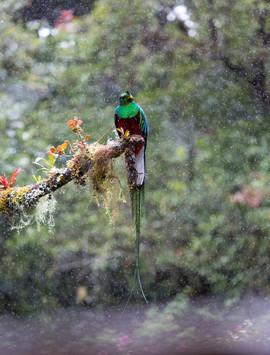 quetzal, quetzal photos, Costa Rica wildlife, birding in Costa Rica, quetzals in Costa Rica, Cerro de la Muerte