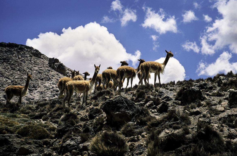 guanaco, guanaco photos, warinaka, warinaka photos, vicuna, vicuna photos, Chile, Chile wildlife, Parque Nacional Lauca