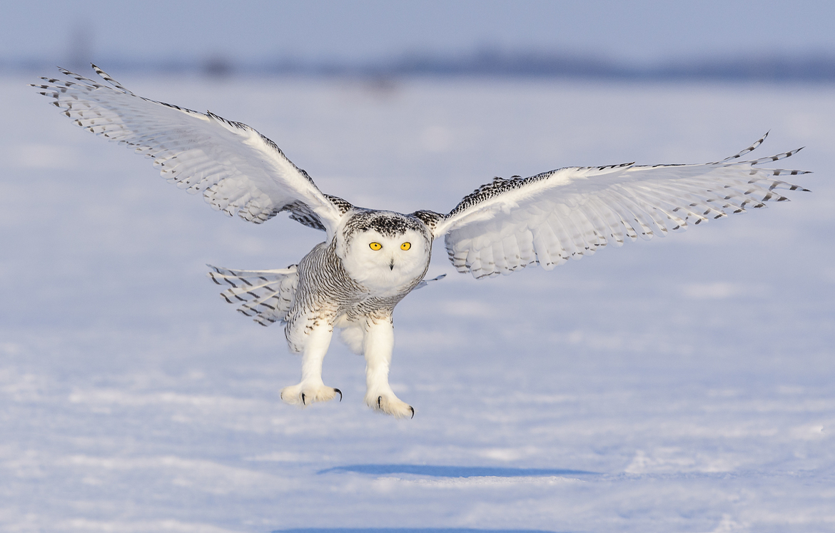 snowy owl, snowy owl photos, owl, owl photos, birds in Canada, owls in Canada, snowy owls in Canada, Canada wildlife, Ontario birds, Ontario