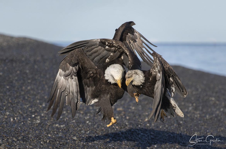 bald eagle, bald eagle photos, bald eagle images, united states wildlife, american wildlife photos, american birds, birds in the united states, bald eagles in Alaska, America's national bird, birding in Alaska, Kachemak Bay