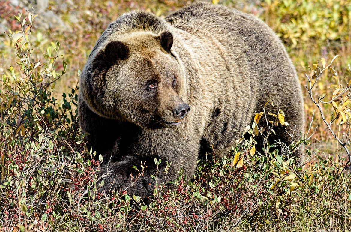 brown bear, grizzly bear, brown bear photos, grizzly bear images, Denali National Park, Denali National Park wildlife, united states wildlife photos, Alaska wildlife, Alaska bears, Alaska photos