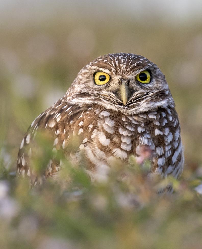 owl, owl photos, birds in the US, birds in Florida, owls in Florida, birding in the US, burrowing owl, burrowing owl photos, Cape Coral
