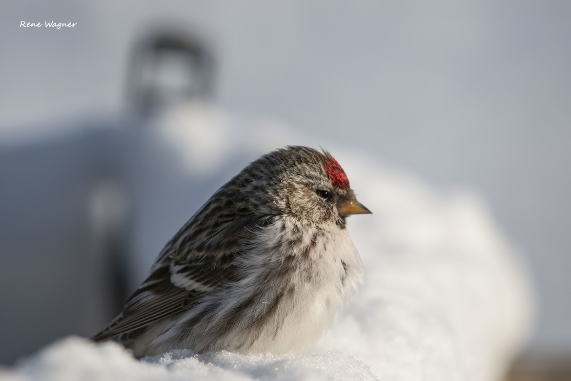 redpoll, redpoll photos, birding in Canada