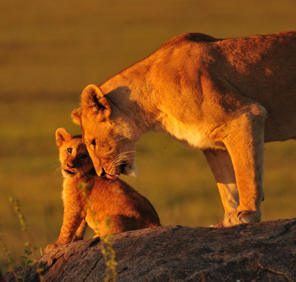 lion, lion photos, lion cub, lion cub photos, tanzania wildlife, tanzania wildlife photos, africa wildlife, africa wildlife photos, lions in tanzania, photos of lions in tanzania, tanzania safari, tanzania safari photos, serengeti, serengeti wildlife