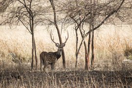 spotted deer, spotted deer photos, India wildlife, India wildlife photos, Pench tiger reserve, Madhya Pradesh