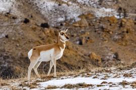 pronghorn antelope, pronghorn antelope photos, antelope, antelope photos, Yellowstone wildlife, Yellowstone National Park, antelope in Yellowstone