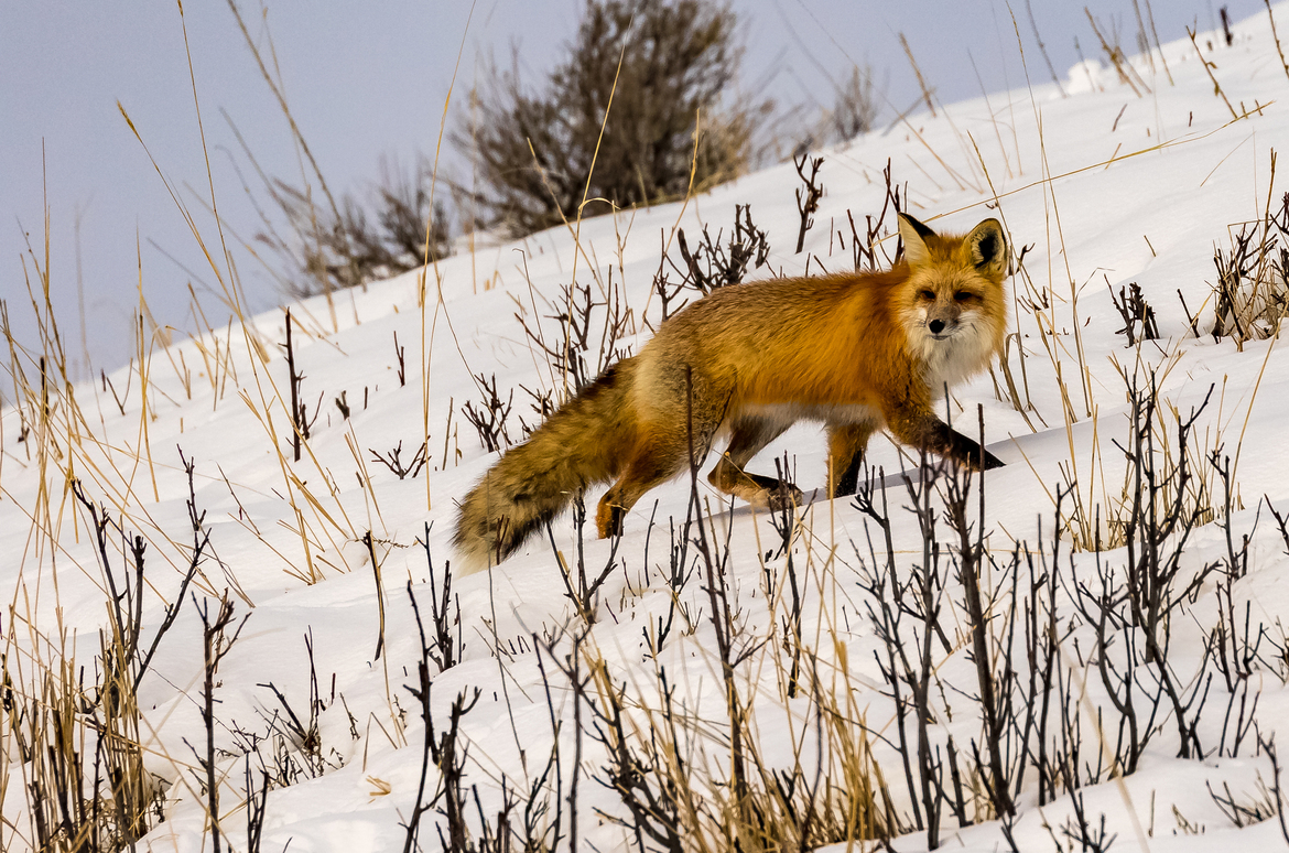 red fox, red fox photos, red fox images, wildlife in the US, united states wildlife, united states wildlife photos, us wildlife photos, wildlife in Yellowstone, foxes in Yellowstone, Yellowstone National Park, Yellowstone