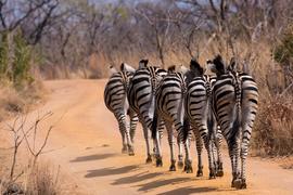 zebra, zebra images, zebra photos, South Africa wildlife, South Africa wildlife images, South Africa wildlife photos, zebras in South Africa, african safari wildlife, Welgevonden Game Reserve, Welgevonden Game Reserve wildlife