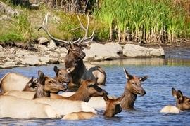 elk, elk photos, elk pictures, colorado wildlife, colorado elk, evergreen wildlife, elk swimming, elk buck