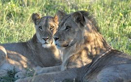 lion, lion photos, botswana wildlife, botswana wildlife photos, africa wildlife, africa wildlife photos, lions in botswana, photos of lions in botswana, botswana safari, botswana safari photos, africa safari, africa safari photo, Kalahari