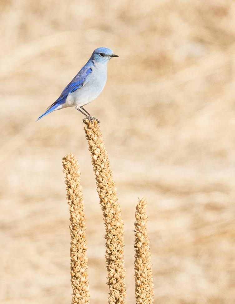 mountain bluebird, mountain bluebird photos, bluebirds, blue birds, rocky mountain national park, rocky mountain photos, rocky mountain np wildlife