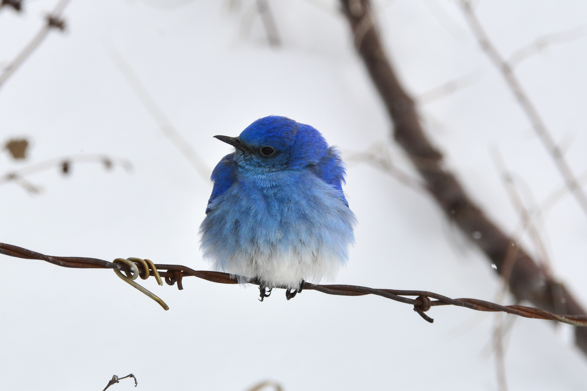 mountain bluebird, mountain bluebird photos, Montana wildlife, Montana birds, birding in Montana