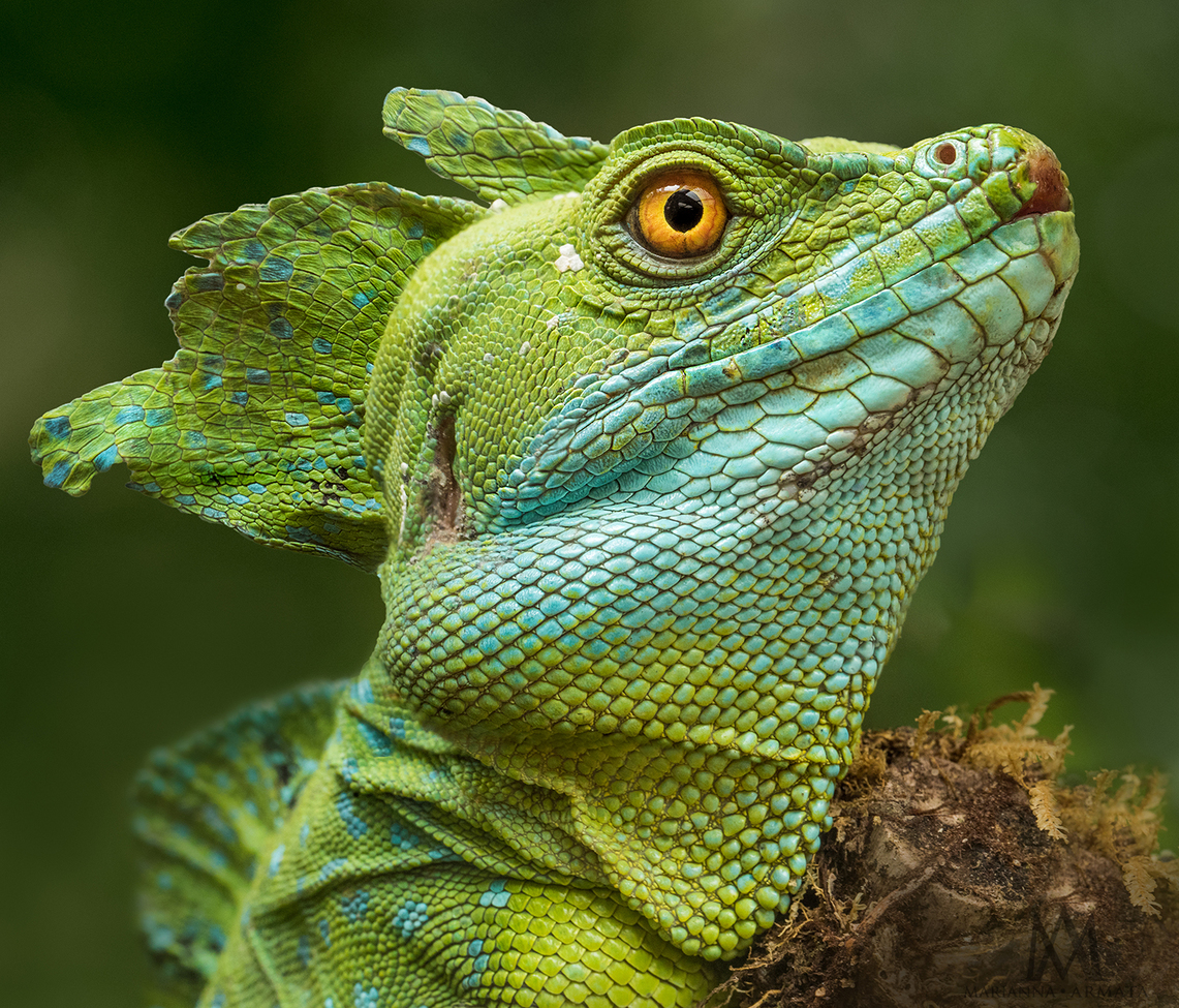 basilisk, basilisk photos, Costa Rica wildlife, lizards in Costa Rica, basilisk in Costa Rica, Arenal Volcano