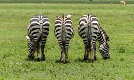 Zebra, Africa, Tanzania, Tanzania wildlife, zebras in Tanzania, photos of zebras, zebra images, African safari, African safari images, Ngorongoro Crater, Ngorongoro Crater wildlife