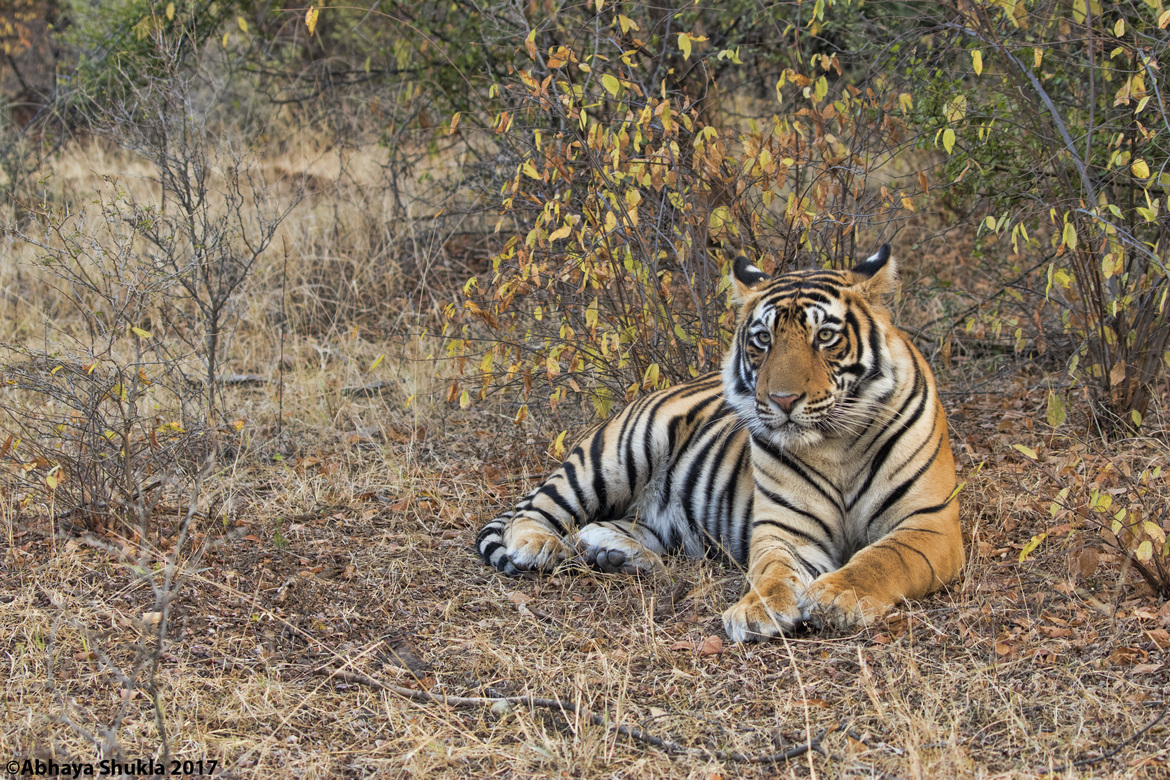 tiger photos, bengal tiger photos, tiger, bengal tiger, Ranthambore National Park, Ranthambore National Park wildlife, Ranthambore National Park wildlife photos, india wildlife, india wildlife photos