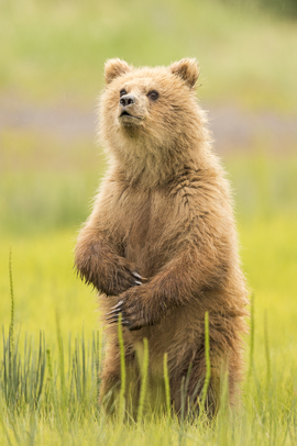 brown bear, grizzly bear, brown bear photos, grizzly bear images, grizzly cub, brown bear cub, grizzly fishing, Lake Clark National Park, Lake Clark National Park wildlife, united states wildlife photos, Alaska wildlife, Alaska bears, Alaska photos