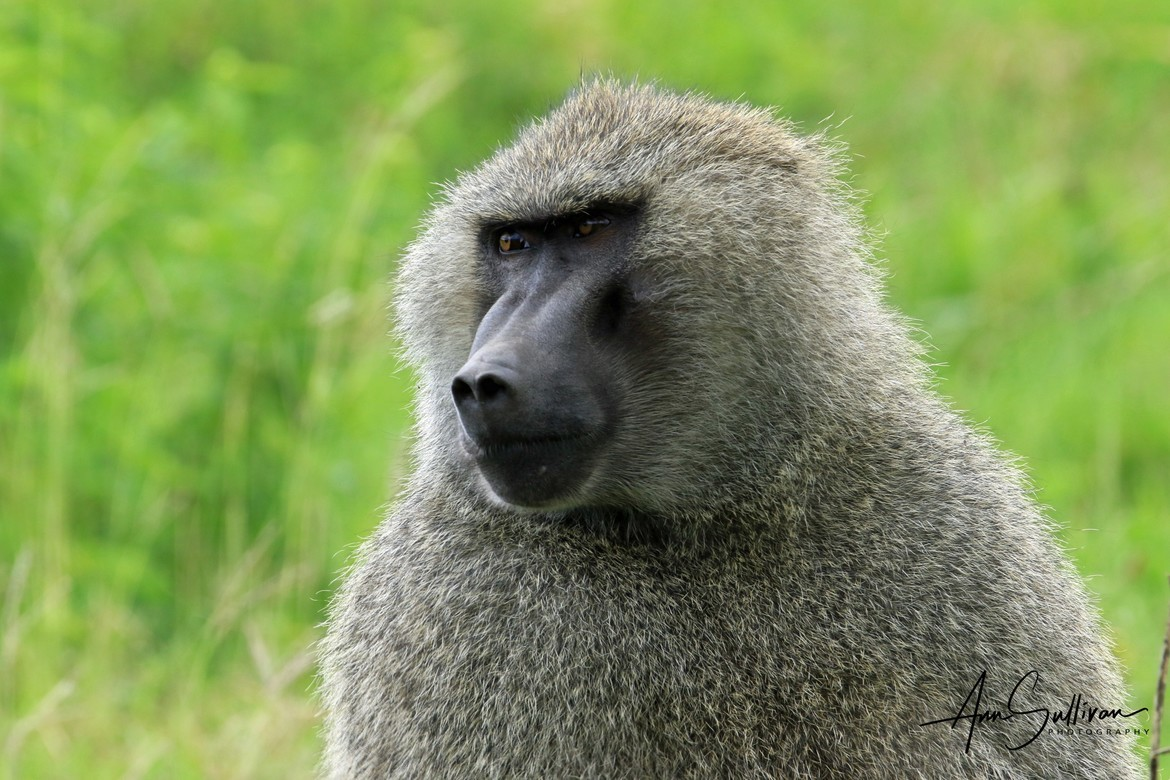 baboon, baboon photos, baboon in Tanzania, Tanzania wildlife, Tanzania wildlife photos, africa safari photos, africa safari, Tanzania safari, Tanzania safari photos, Ngorongoro Conservancy, Ngorongoro, Ngorongoro Conservancy wildlife, Papio anubis