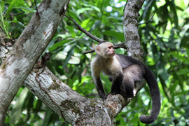 capuchin monkey, white-faced capuchin monkey, monkeys in Costa Rica, Costa Rica wildlife, Manuel Antonio National Park, capuchin monkey photos, white-faced capuchin monkey photos, photos of monkeys in Costa Rica