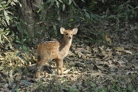 Hog deer, India, India photography, Kaziranga National Park, deer photography