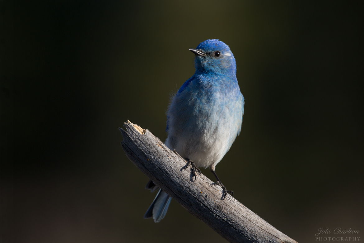 mountain bluebird, mountain bluebird photos, Washington wildlife, Washington birds, birding in Washington