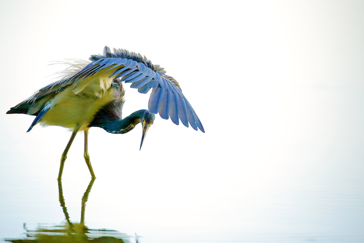 Tri-colored Heron, Tri-colored Heron photos, heron photos, Florida birds, birding in Florida, herons in Florida