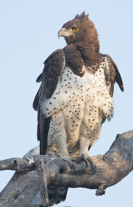 martial eagle, martial eagle photos, eagle photos, African birds, African eagles, eagles in Africa, Okavango Delta, Okavango delta wildlife, Okavango Delta birds, Botswana wildlife, Botswana birds, African safari, Botswana safari