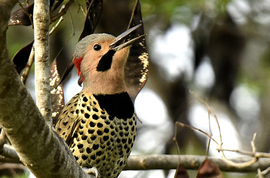 northern flicker, northern flicker photos, cuba, cuba photos, cuba wildlife, cuba birds, Cayo Coco Island, woodpecker photos, woodpecker