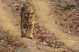 tiger photos, bengal tiger photos, tiger, bengal tiger, Satpura National Park, Satpura National Park wildlife, Satpura National Park wildlife photos, india wildlife, india wildlife photos