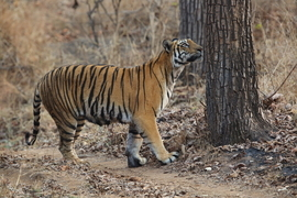 tiger photos, bengal tiger photos, tiger, bengal tiger, Satpura Tiger Reserve, Satpura wildlife, Satpura wildlife photos, india wildlife, india wildlife photos