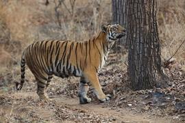 Grid 242sat bengal tiger spray marking