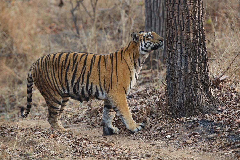 tiger photos, bengal tiger photos, tiger, bengal tiger, Satpura Tiger Reserve, Satpura wildlife, Satpura wildlife photos, india wildlife, india wildlife photos