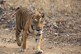 tiger photos, bengal tiger photos, tiger, bengal tiger, Satpura, Satpura wildlife, Satpura wildlife photos, india wildlife, india wildlife photos
