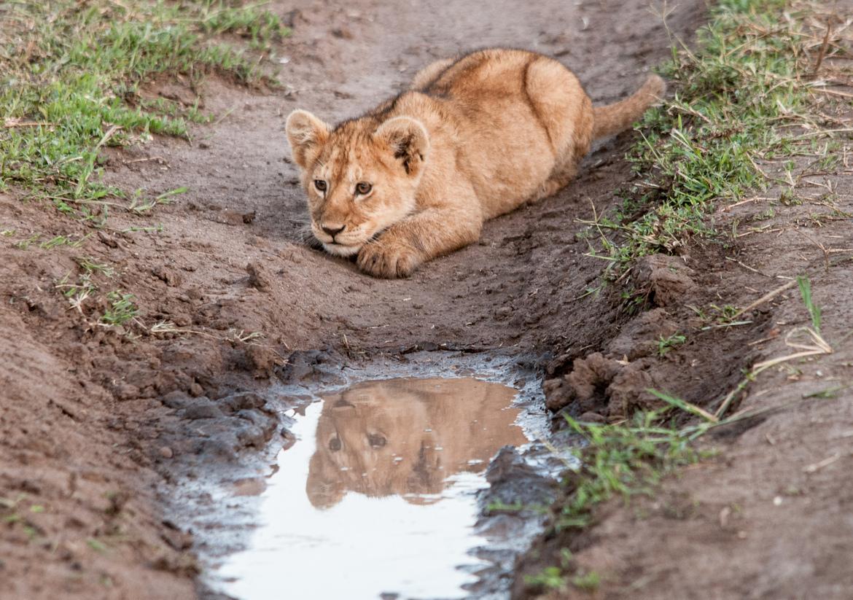 lion, lion photos, lion cub, lion cub photos, tanzania wildlife, tanzania wildlife photos, africa wildlife, africa wildlife photos, lions in tanzania, tanzania safari, tanzania safari photos, africa safari, africa safari photo, serengeti national park