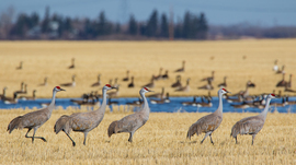 Grid march of the sandhill cranes