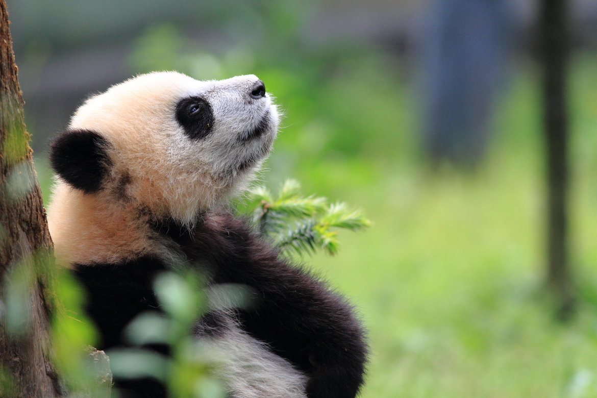 Baby panda, panda, China, Bifengxia, giant panda, china photography