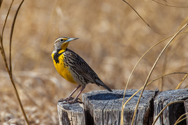 meadowlark, meadowlark photos, Nebraska birds, birding in Nebraska, birding in the US, birds in the US, american birds