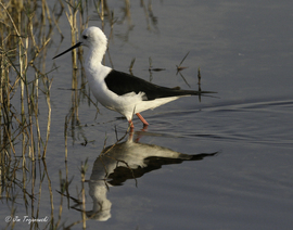 Black-winged stilt, Black-winged stilt photos, Black-winged stilt in Botswana, Botswana wildlife, birds in Botswana, Africa wildlife, Africa safari, Botswana safari, Jacana Camp, Jacana Camp wildlife