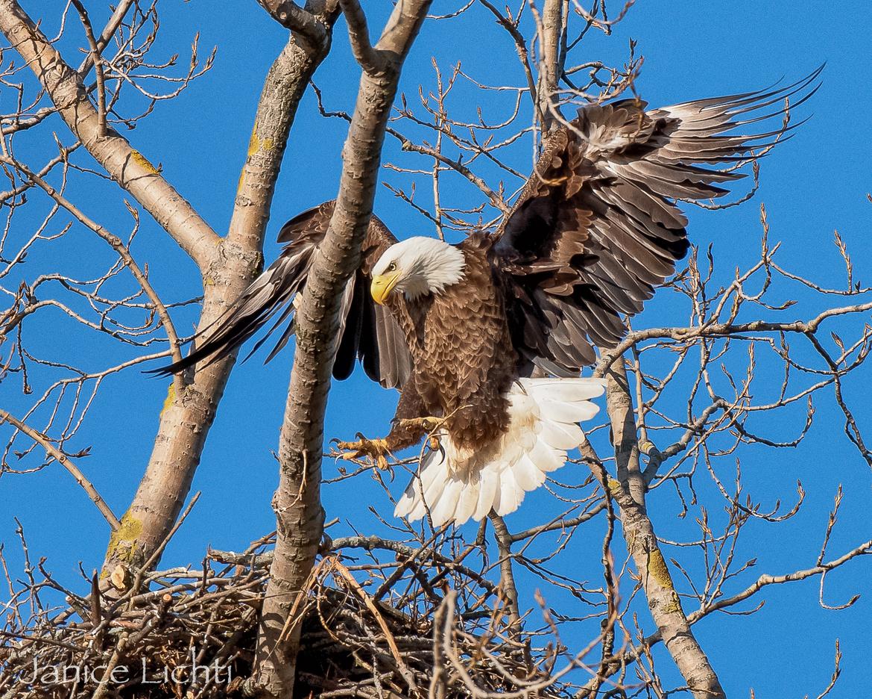 bald eagle, bald eagle photos, bald eagle images, Ontario wildlife, Ontario wildlife photos, Ontario birds, birds in Canada, bald eagles in Canada, bald eagles in Ontario