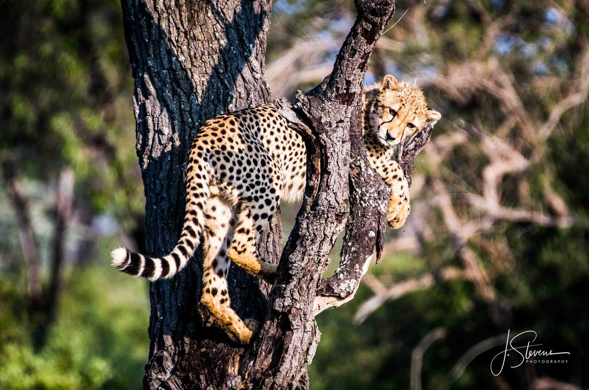 Cheetah, South Africa, South Africa wildlife, South Africa safari images, cheetah images, cheetah photos, South Africa images, South Africa photos, Welgevonden Wildlife Refuge, Welgevonden Wildlife Refuge wildlife