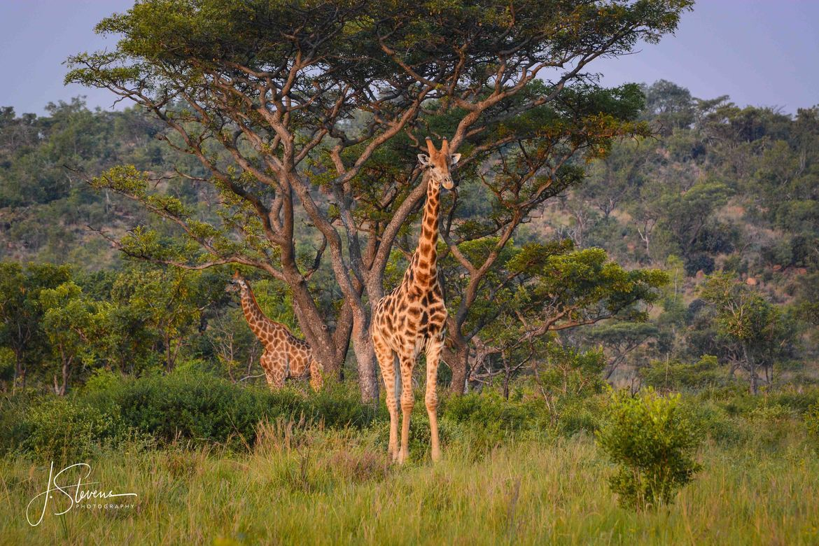 giraffe, giraffe photos, giraffe images, south africa wildlife, south africa wildlife photos, african safari photos, giraffes in south africa, Welgevonden Wildlife Reserve, Welgevonden Wildlife Reserve wildlife photos, Welgevonden Wildlife