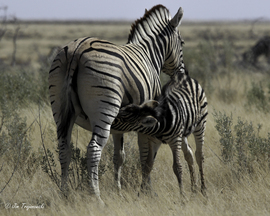 zebra, zebra images, zebra photos, namibia wildlife, namibia wildlife images, zebra baby, zebra babie, zebras in namibia, african safari wildlife, namibia safari wildlife, namibia safari wildlife photos, Etosha National Park, Etosha National Park wildlife