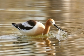 avocet, american avocet, Belmar Lake, Lakewood wildlife, Colorado wildlife, Colorado birds, US birds, american birds