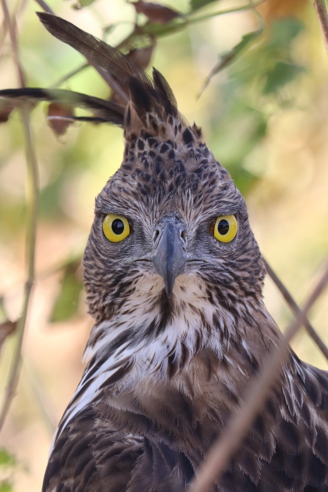 crested hawk eagle, crested hawk eagle photos, Sri Lanka wildlife, Sri Lanka birds, birding in Sri Lanka, Udawalawe National Park, Udawalawe National Park wildlife, Udawalawe National Park birding