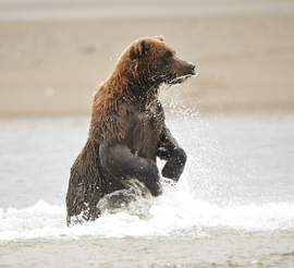 brown bear, grizzly bear, brown bear photos, grizzly bear images, grizzly cub, brown bear cub, grizzly fishing, Lake Clark, Lake Clark wildlife, united states wildlife photos, Alaska wildlife, Alaska bears, Alaska photos